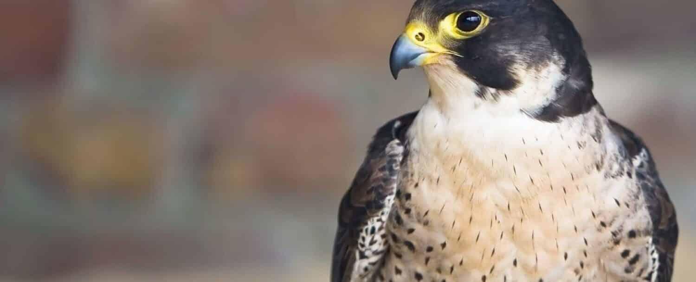 a perched Falcon