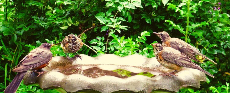 Four birds splashing in a bird bath