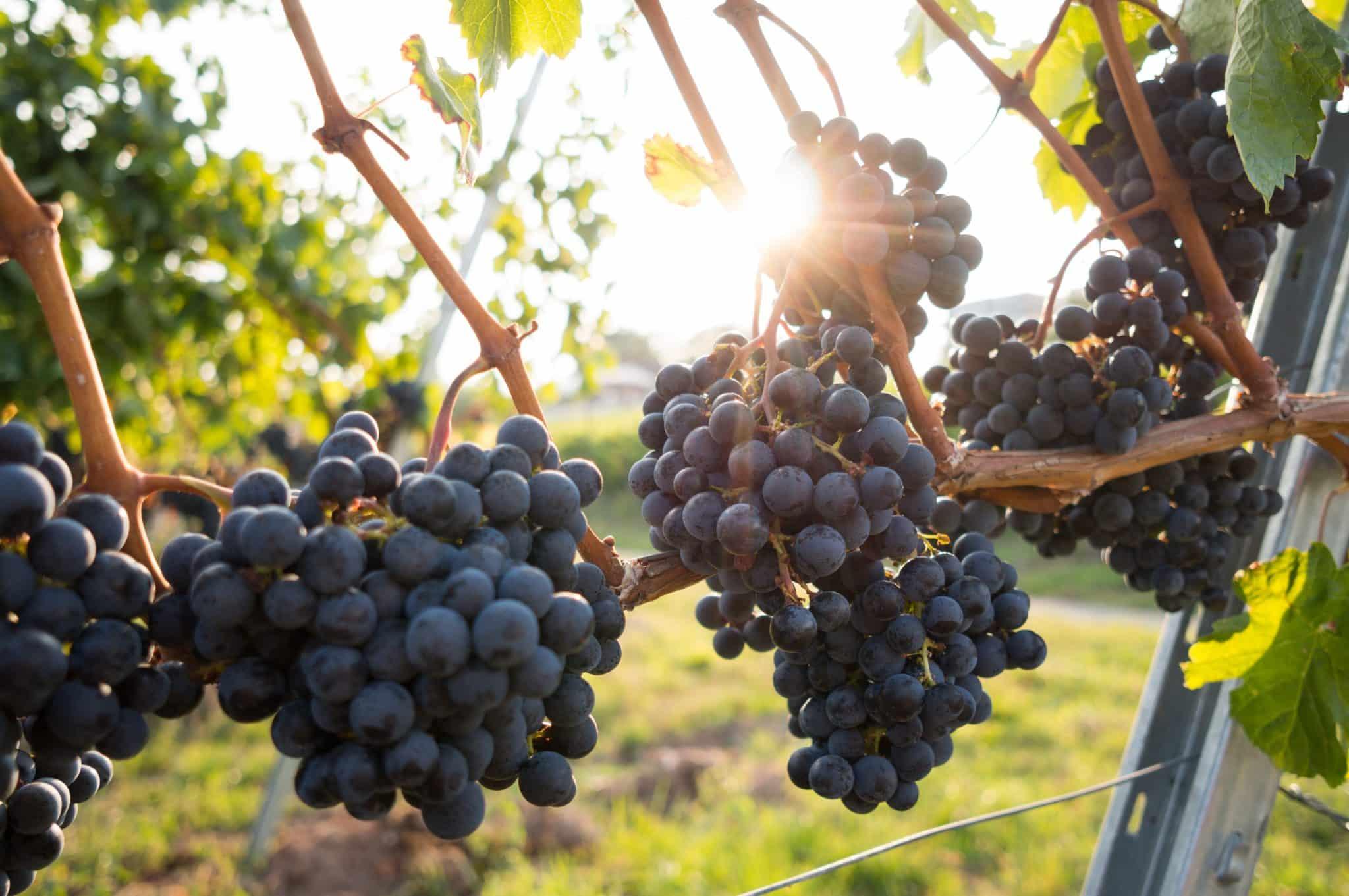 Purple grapes growing on vines on a vineyard